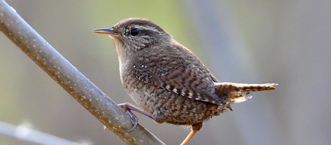 Wren - Featured Image